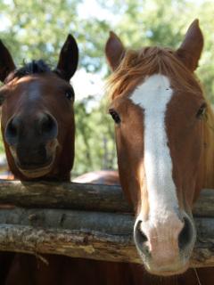 Perrochon_horse